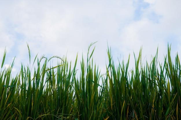 Foglie verdi di riso sulla collina con il cielo.