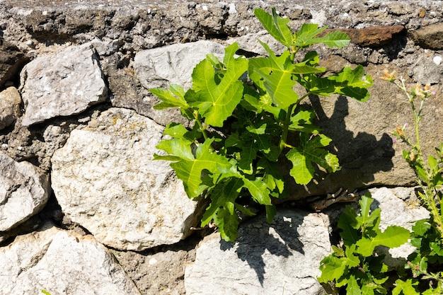 Foglie verdi e germogli di un albero di fico in primavera, germogliati tra le pietre.