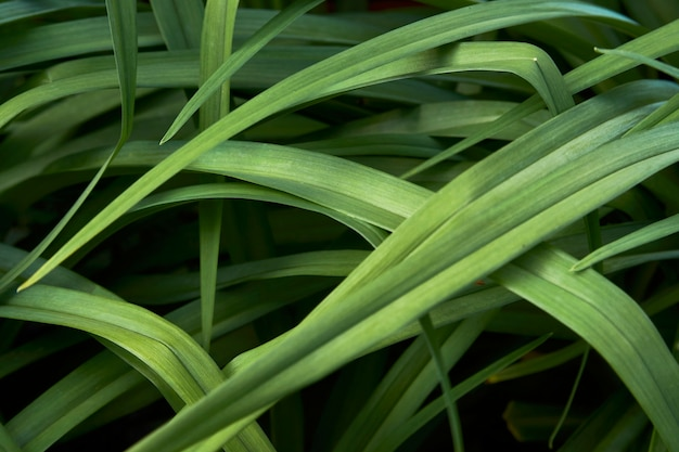 Fondo di struttura delle foglie verdi, primo piano. sfondo di foglie di erba tropicale