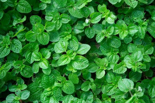 Priorità bassa di struttura delle foglie verdi