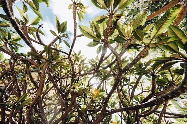 Foglie verdi di alberi, contro il cielo, fogliame di alberi tropicali.