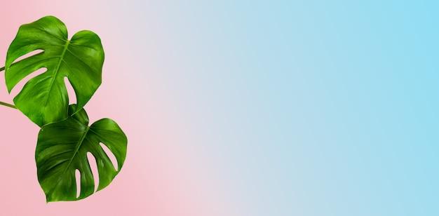 Pianta di monstera tropicale con foglie verdi su una superficie rosa e blu
