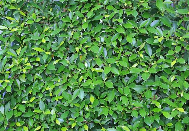 Fondo del recinto della parete delle foglie verdi. decorazione del giardino