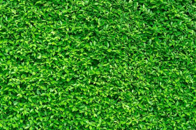 Parete di foglie verdi