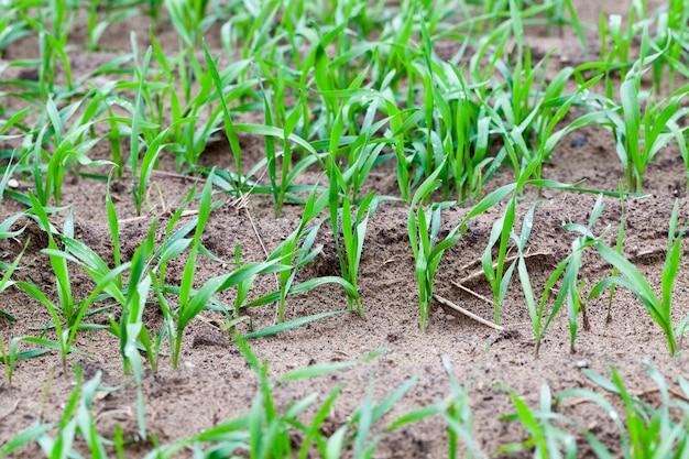 Foglie verdi di grano sul campo. primo piano nella stagione autunnale, nuvoloso
