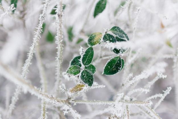 Foglie verdi nel giorno di inverno su gelo bianco
