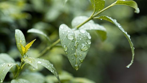 Foglie verdi con gocce dopo la pioggia in giardino.