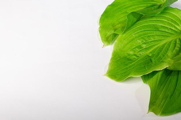 Foglie verdi con gocce d'acqua su uno sfondo bianco. adatto a cartoline, cartoline. copia spazio.