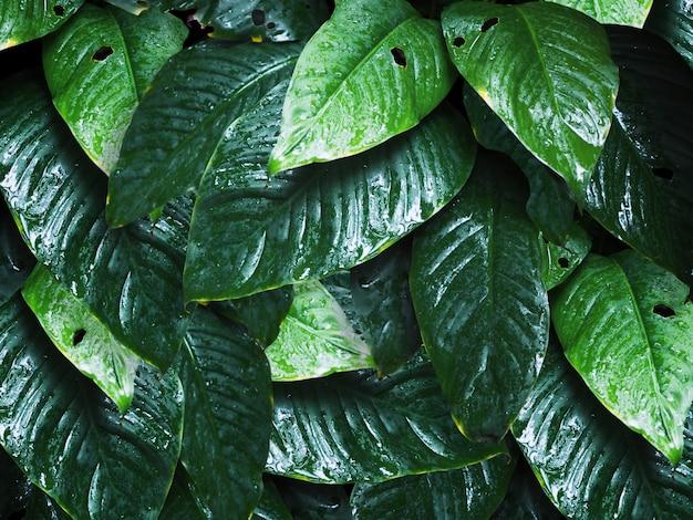 Foglie verdi con le gocce di acqua per sfondo naturale.