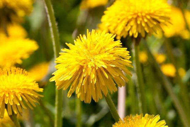 Foglie verdi e fiori gialli di un dente di leone in piena primavera, radura della foresta