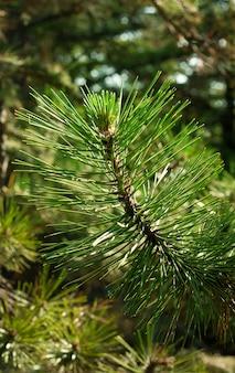 Linea verde pino profumato pungente Foto Premium