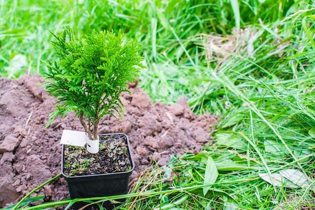 Piccolo germoglio verde della pianta della conifera dal vaso con terreno, terra sul fondo della natura dell'erba che prepara piantare in giardino, foresta, parco. eco friendly, organico, concetto di ecologia.