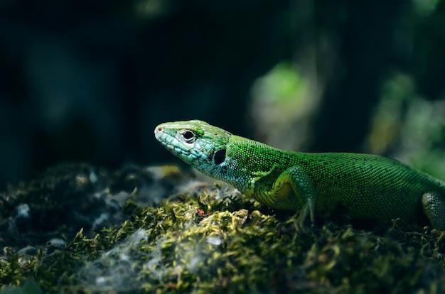 Lucertola verde su roccia lucertola verde del ritratto del primo piano su muschio