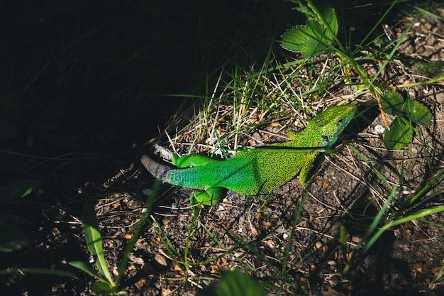 Lucertola verde che si siede nell'erba in giardino Foto Premium
