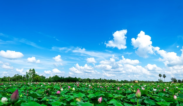 Campi di loto verde con uno sfondo di cielo e nuvole bianche. sullo sfondo della natura