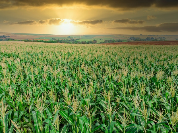 Piantagione di campo di mais verde mais nella stagione agricola estiva. volo sopra il campo di mais verde durante la soleggiata giornata estiva.