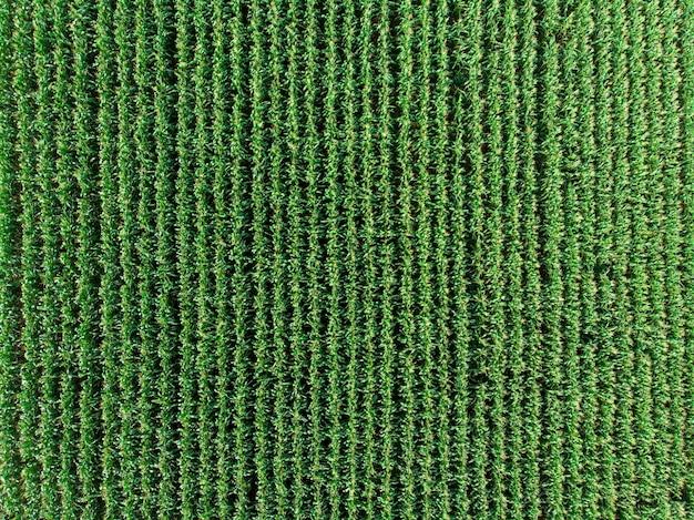Piantagione di campo di mais verde mais nella stagione agricola estiva. .