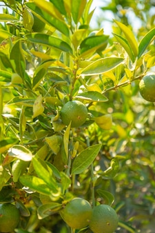 Frutto di mandarino verde sull'albero nei giardini vicino alla grotta di karain ad antalya, turchia