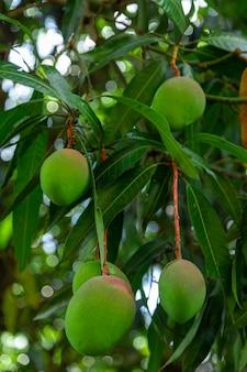 Manghi verdi su albero in una piantagione