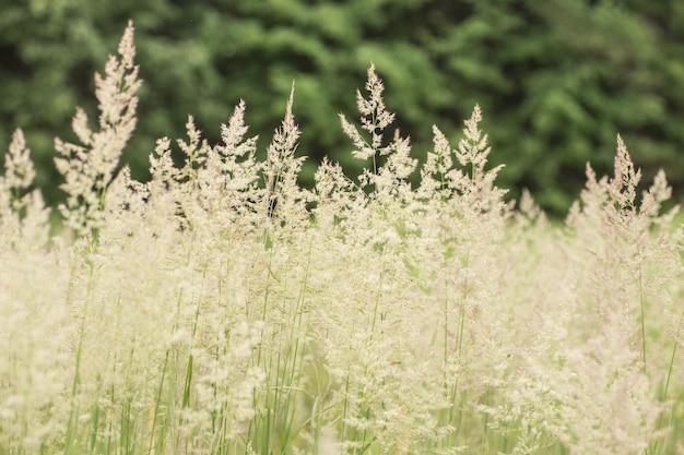 Primo piano del prato verde. sfondo di foto di erbe selvatiche.