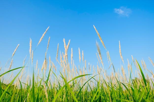 Prato verde con fiori di erba marrone su sfondo blu cielo. erba verde e fiori di bosco in estate in thailandia.