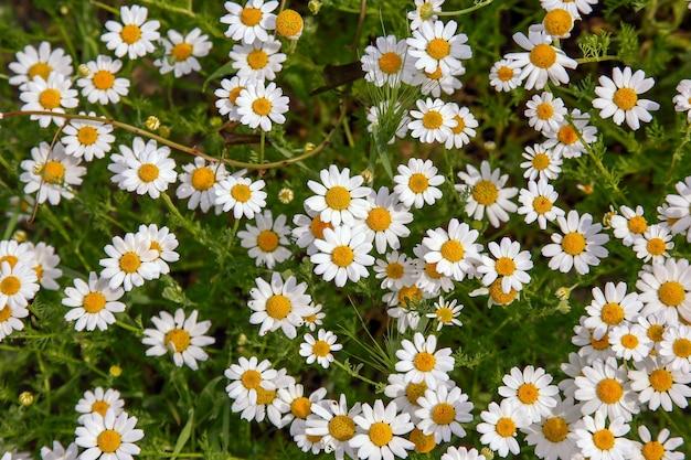 Prato verde con tanti fiori di camomilla