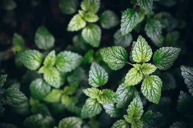 Sfondo di foglie di menta verde.