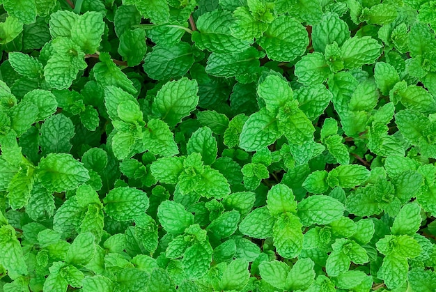Pianta di menta verde in crescita all'orto, sfondo di menta