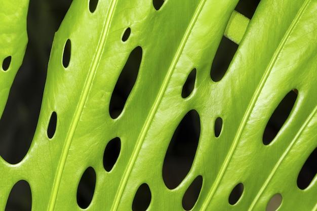 Foglie di monstera verde