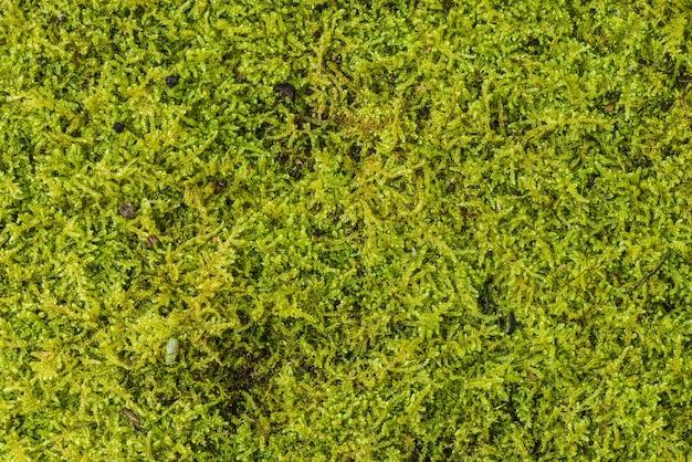 Texture di sfondo verde muschio bello in natura. avvicinamento