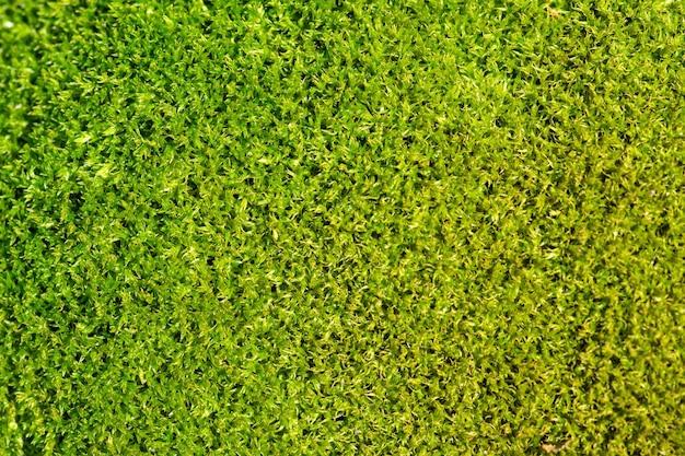 Sfondo verde muschio e foto macro texture