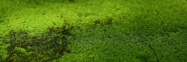 Muschio verde sullo sfondo della carta da parati del pavimento. Foto Premium
