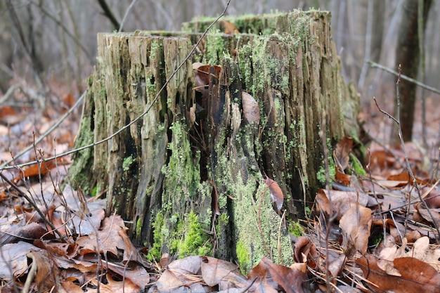 Muschio verde su un ceppo nella foresta
