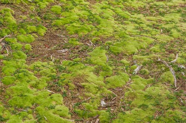 Struttura del muschio verde