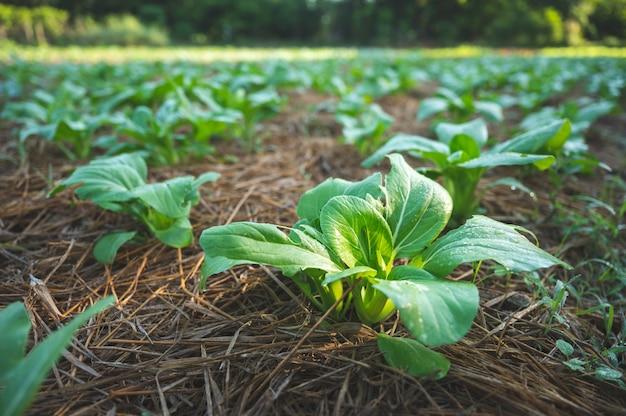 Fattoria di verdure della natura verde, concetto di agricoltura di cibo crudo biologico per uno stile di vita di buona salute, raccolto di piante di insalata biologica sul campo, cibo sano e pulito