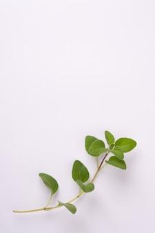 Origano verde su sfondo bianco con spazio di copia origano fresco su una scena bianca.