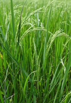 Piantagione di risone verde