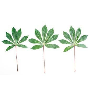 Rami di palma verdi su bianco