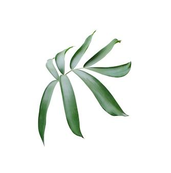 Foglia di palma verde isolata su fondo bianco con il percorso di residuo della potatura meccanica