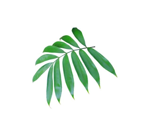 Foglia di palma verde isolata su sfondo bianco