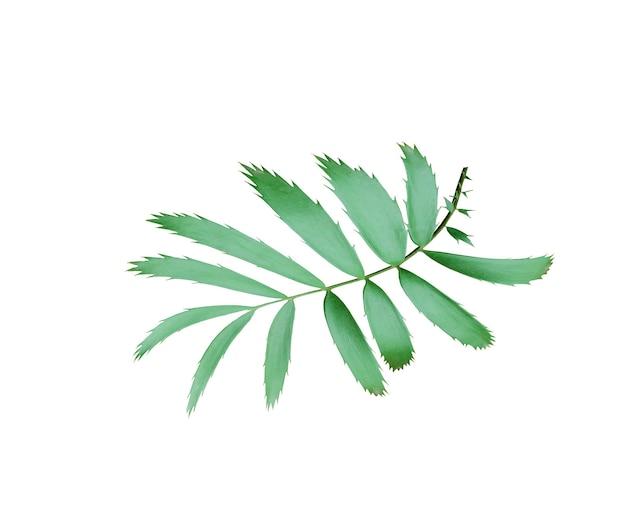 Foglia di palma verde isolata su bianco con il percorso di residuo della potatura meccanica