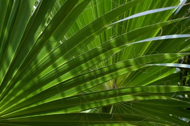 Fondo verde dell'estratto di struttura del modello della foglia di palma.