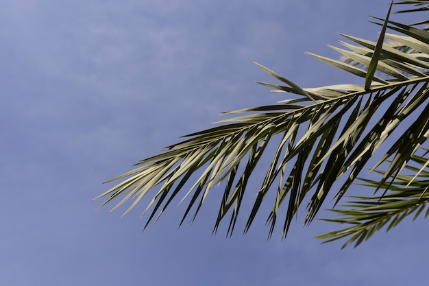 Palma verde e sfondo azzurro del cielo