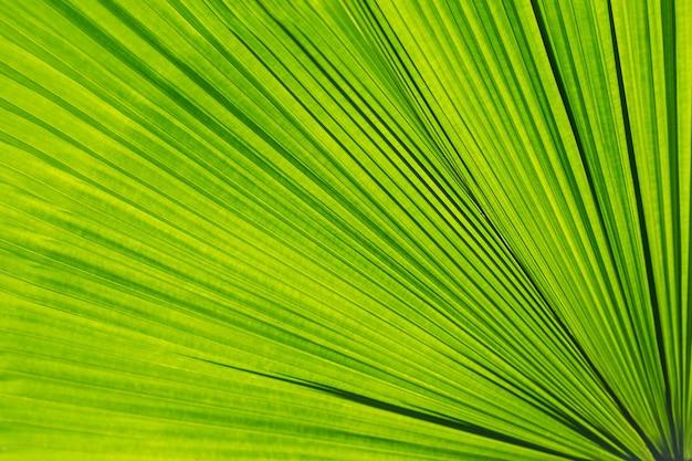 Foglia di palma verde come sfondo