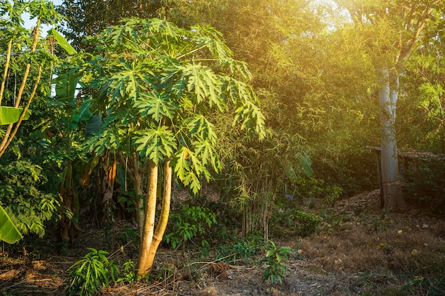 La papaia verde lascia l'albero di papaia con alberi di banana sullo sfondo del giardino thailand