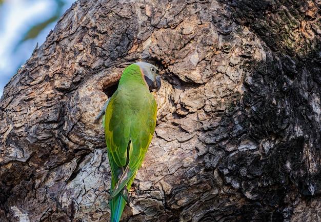 Pappagallo verde sull'albero, il nido del pappagallo