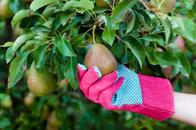 Pera verde sul ramo di un albero in mano del contadino nel guanto