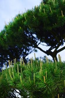 Rami di pino verde aghi di conifere sfondo closeup..blur