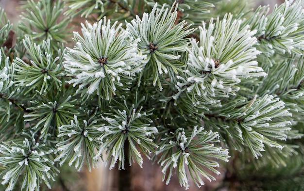 Rami di pino verde sotto il gelo bianco invernale. fondo della neve di inverno di natale.
