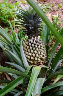 Ananas verde che cresce su un cespuglio